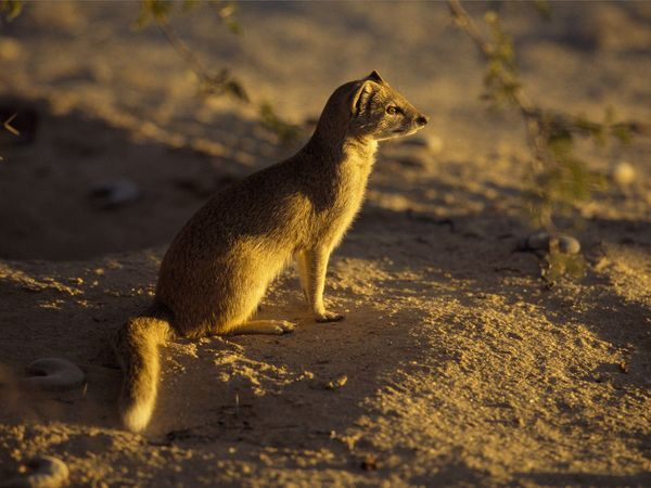 Mongoose-1