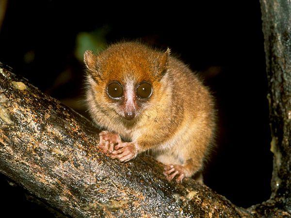 Mouse Lemur-1