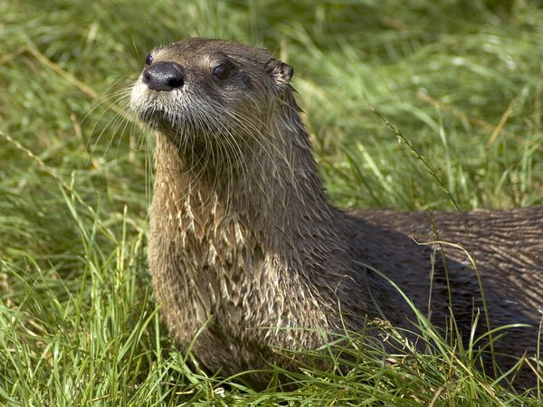 North American River Otter-1