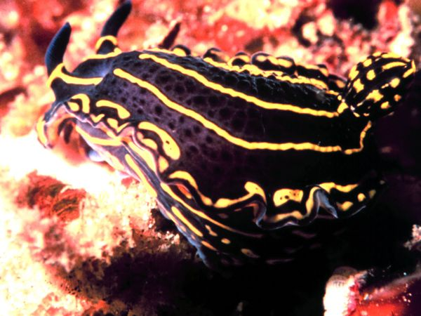 Nudibranch-1