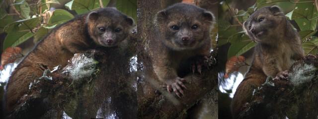 olinguito mammal species