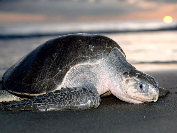 Olive Ridley Sea Turtle-1
