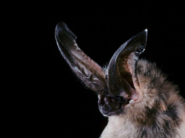 Ozark Big-Eared Bat-1