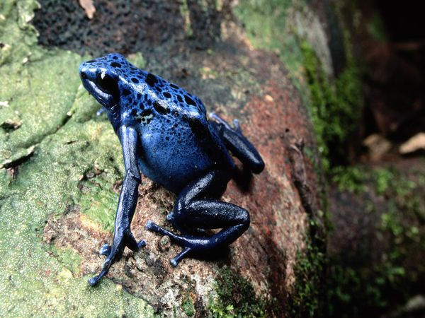 Poison Dart Frog-1