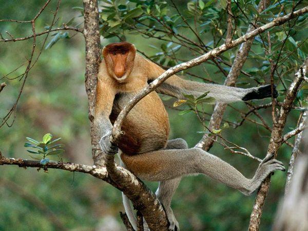 Proboscis Monkey-1