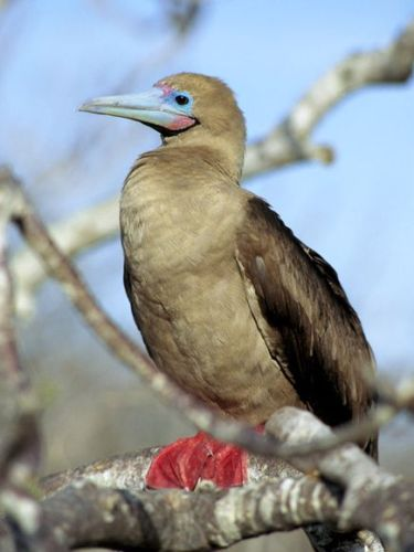 Red-Footed Booby-1