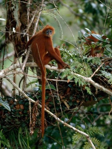 Red Leaf Monkey-1