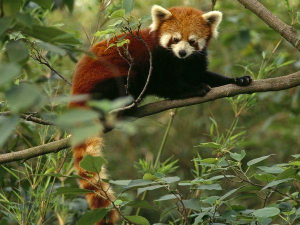 Red Panda-1