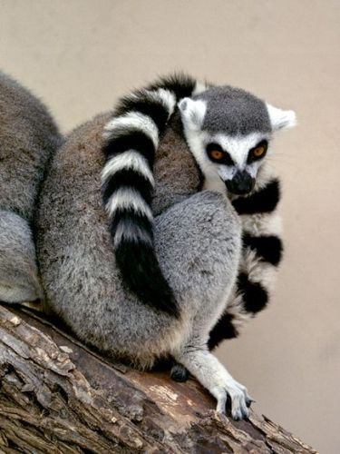 Ring-Tailed Lemur-1