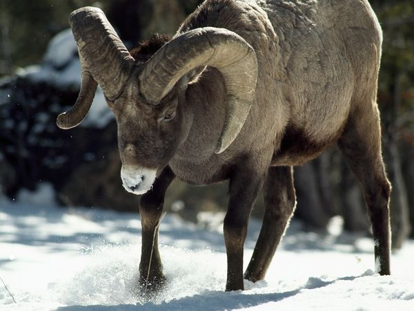 Rocky Mountain Bighorn Sheep-1