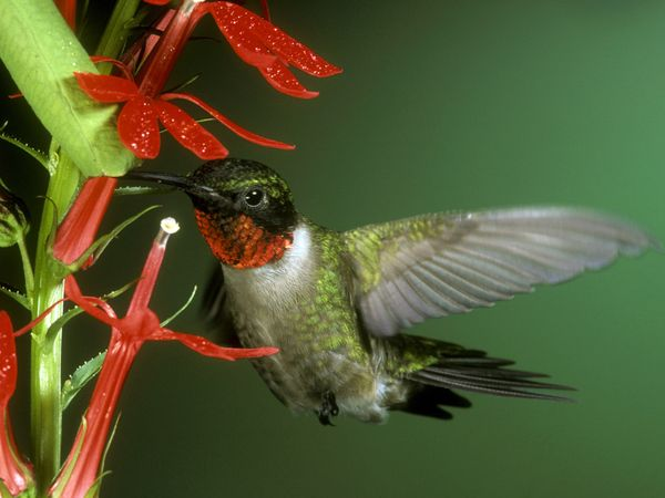 Ruby-Throated Hummingbird-1