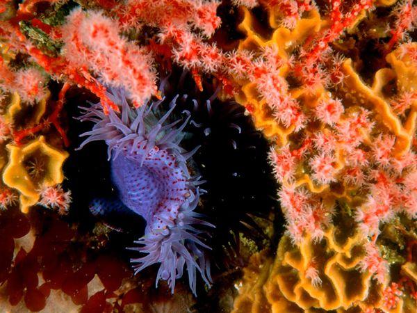 Sea Anemone-1