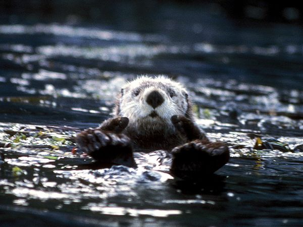 Sea Otter-1