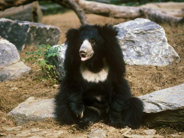 Sloth Bear-1