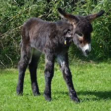 Small Black Donkey