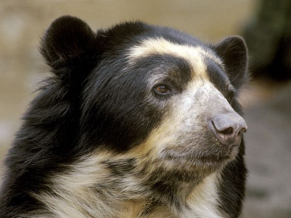 Spectacled Bear-1