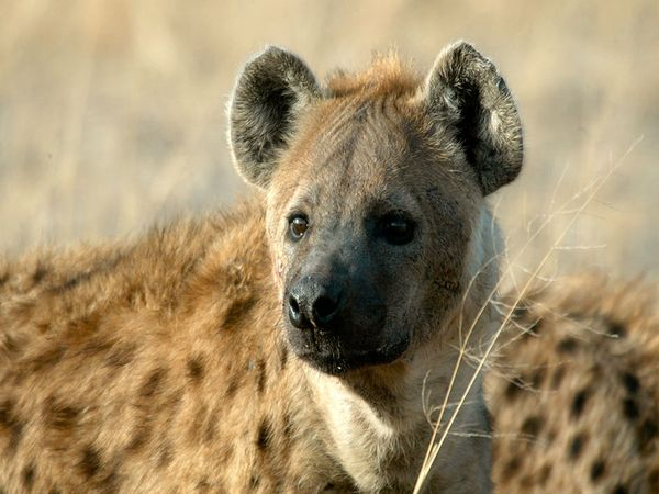 Spotted Hyena-1