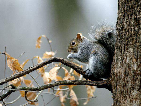 Squirrel-1