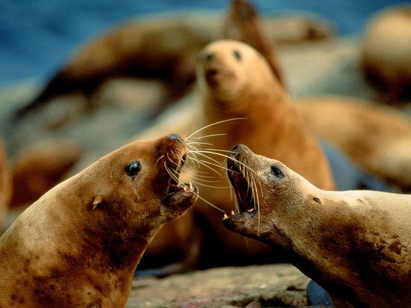 Steller Sea Lion-1