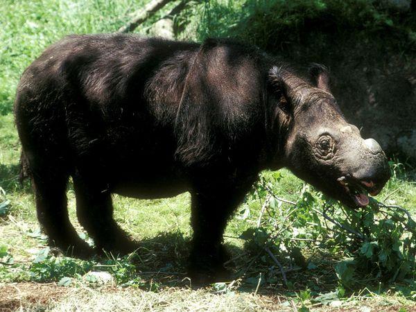Sumatran Rhinoceros-1