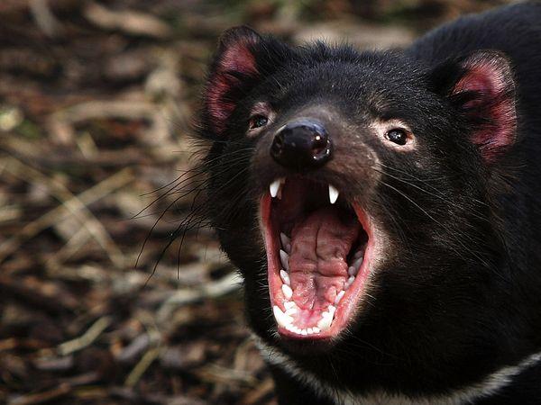 Tasmanian Devil-1