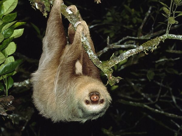 Two-Toed Sloth-1