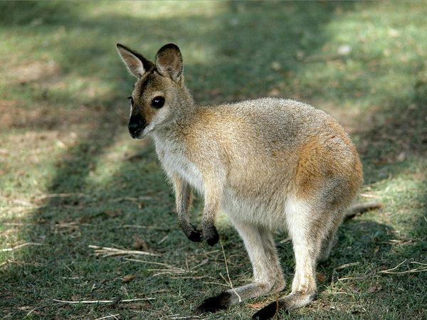 Wallaby-1