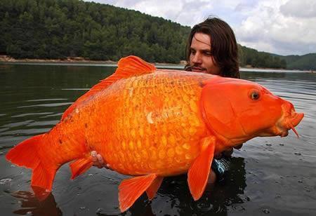 World's Largest Goldfish The orange koi carp
