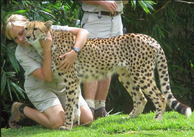 carsing a cheetah