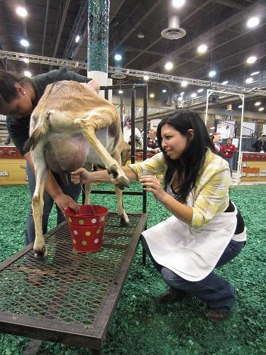 11a Milking a goat