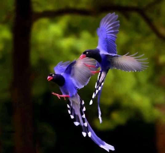 1c Blue birds