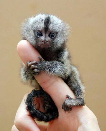 1h smallest monkey