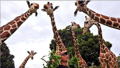 2a Many heads of giraffes