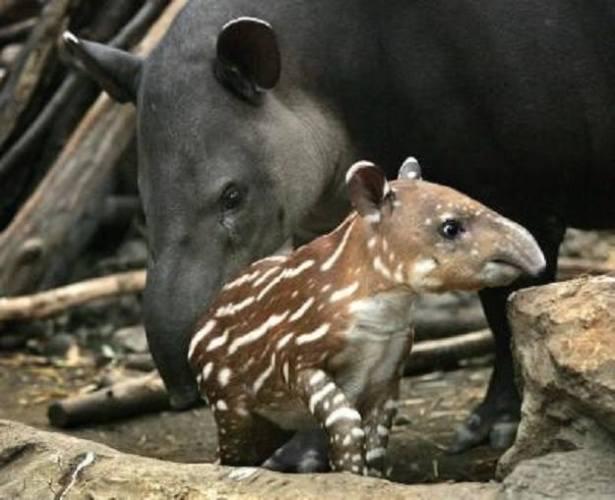 2d chota tapir