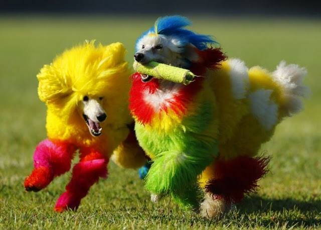 2h colourful dogs