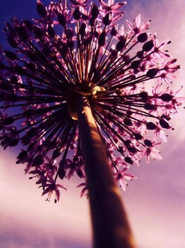 3a Rare pink violet flower