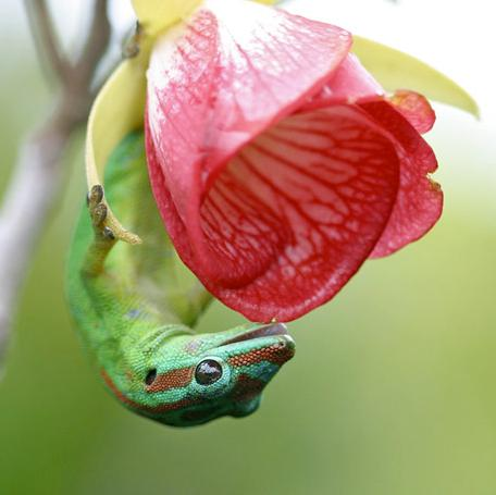 3h-gecko-ollinating-a-pink-red-flower - Lizard hitting on a flower - Photos Unlimited