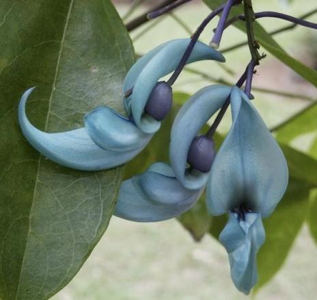 3o rare bluegreen flower