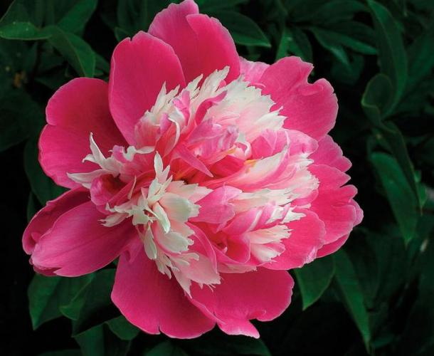 3p rare pink flower