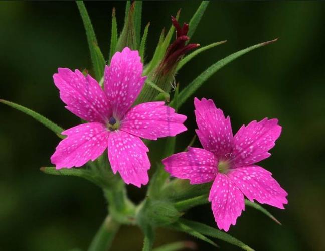 3r Rare pink leaf like flower