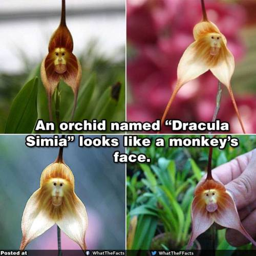 orchid dracula