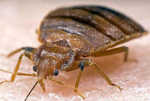 11 Bed bugs in your bed