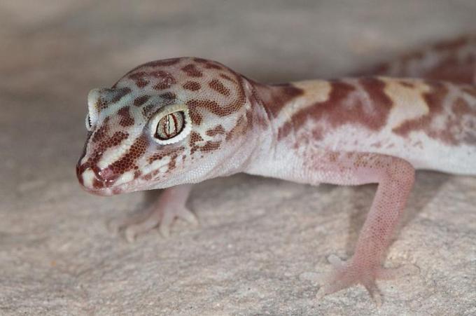 14 Bug eyed lizard looking at you