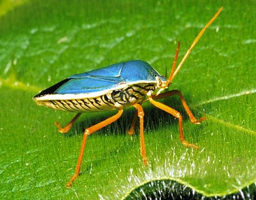 9 Blue back hemiptera