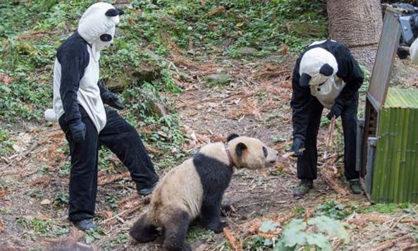 Fooling a panda