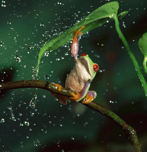 Frog tasting rain