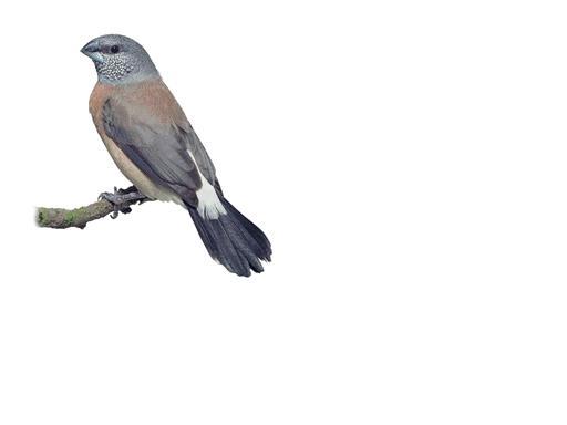grayheadedsilverbill