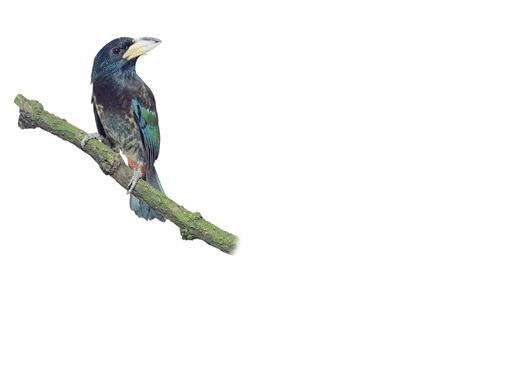 greenbarbet