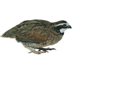 northernbobwhite