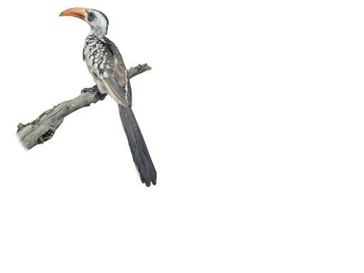 redbilledhornbill